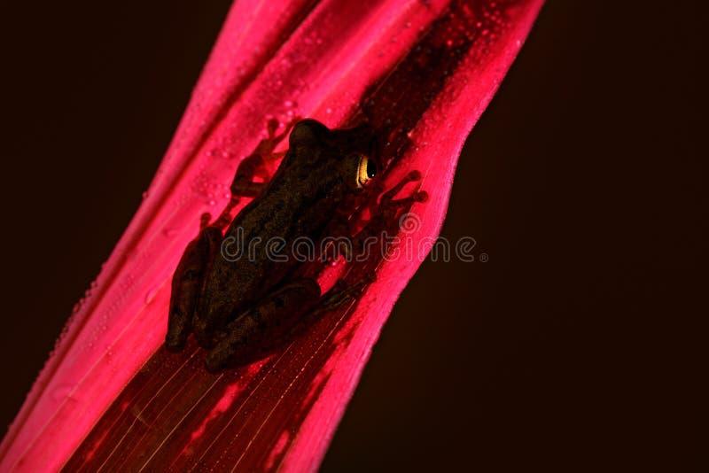 Achter-lichte nachtkikker, Tropische kikker Stauffers die Treefrog, Scinax-staufferi, op roze bladeren zit Kikker in aard tropisc stock afbeelding