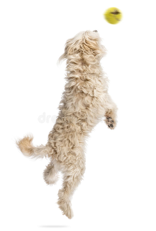 Achter mening van een hond die na een vliegende bal springen stock foto