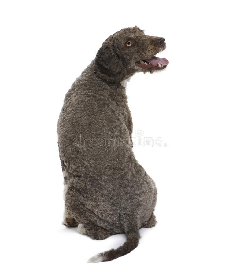 Achter mening van een Spaanse hond van het waterspaniel. stock foto's