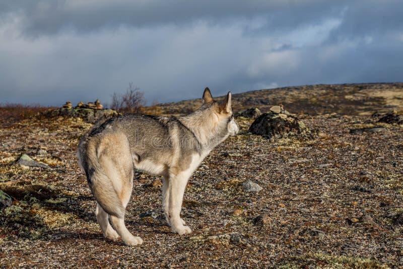 Achteraanzicht van een grijs-witte Siberische husky De hond kijkt in de verte op straat stock afbeelding