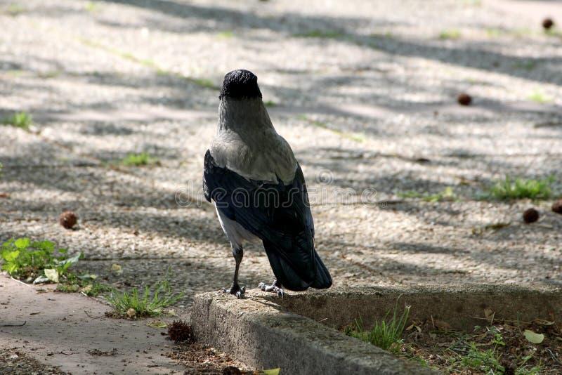 Achtereind die van kraai grijze en zwarte kleine vogel Met een kap zich in schaduw van grote boom bovenop het concrete rand lokaa royalty-vrije stock afbeeldingen