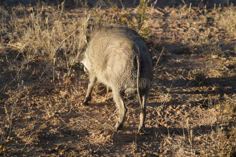 Achtereind van dun haarwrattenzwijn het voederen in droog borwngras bij Okonjima-Natuurreservaat, Namibië stock afbeeldingen