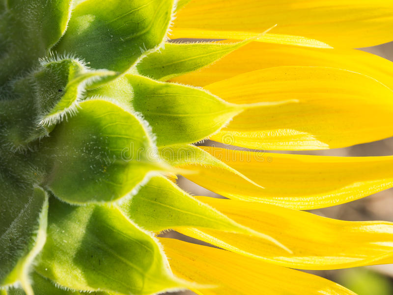 Achtereind van zonnebloem royalty-vrije stock afbeelding