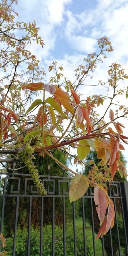 Achtergrond De groene en rode bladeren van okkernoot tegen de blauwe hemel, de witte wolken en het net van een park schermen stock afbeeldingen