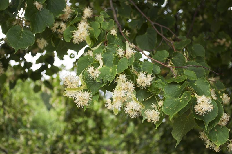 Achtergrond met close-up van klein-leaved Kalk verse bloemen voor kruiden gezonde thee royalty-vrije stock foto's
