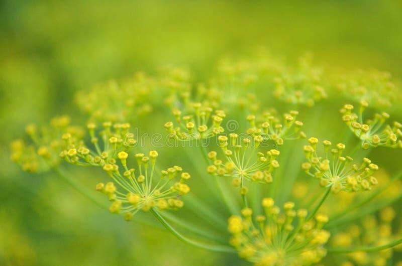 Achtergrond met de close-up van de dilleparaplu De installatie van de tuin Geurige dille op de tuin in de tuin stock foto