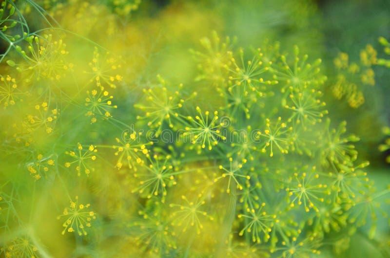 Achtergrond met de close-up van de dilleparaplu De installatie van de tuin stock foto