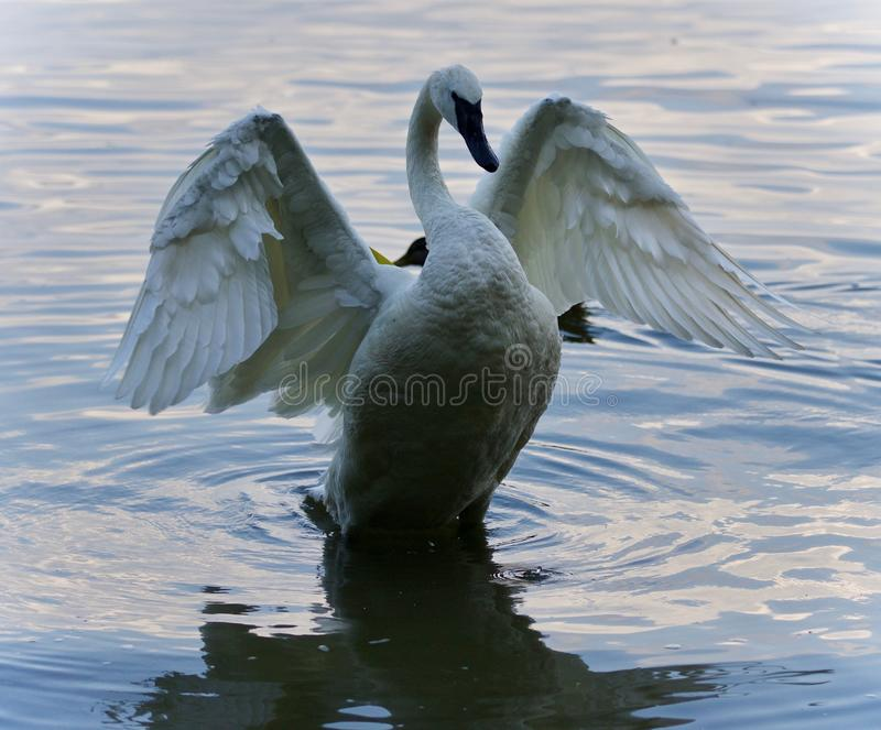 Achtergrond met een trompetterzwaan die vleugels tonen royalty-vrije stock foto