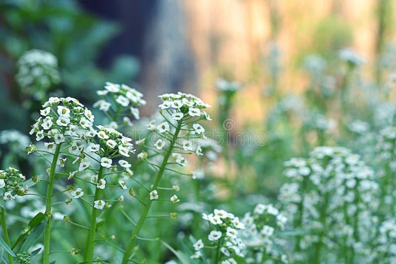 Achtergrond met kleine witte bloemen in de tuin Rustieke stijl Fotobeeld stock afbeelding