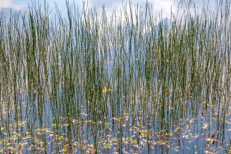 Achtergrond met riet in water stock fotografie