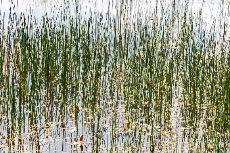 Achtergrond met riet in water stock afbeelding