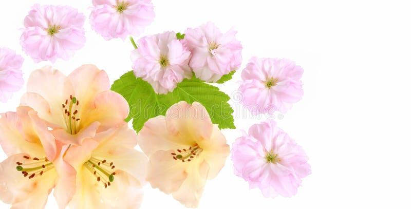 Achtergrond met sakura en rododendronbloemen royalty-vrije stock afbeeldingen