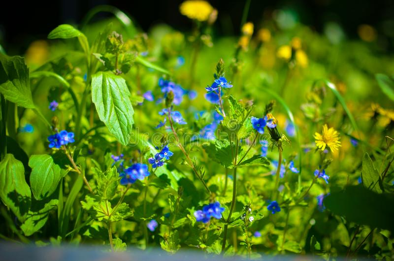 Achtergrond met verse blauwe en gele de lentebloemen stock afbeeldingen