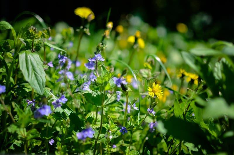 Achtergrond met verse blauwe en gele de lentebloemen stock fotografie