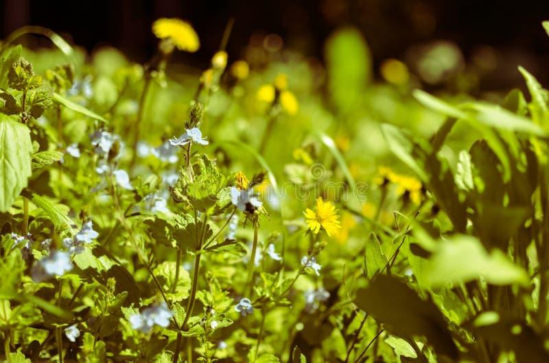 Achtergrond met verse blauwe en gele de lentebloemen royalty-vrije stock afbeeldingen