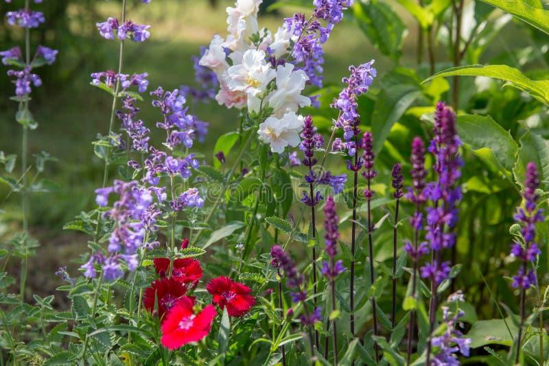 Achtergrond of Textuur van Salvia-nemorosa ` Caradonna ` Balkan Clary, Nepeta-fassenii ` Zes Heuvels Reuze`, leeuwebek royalty-vrije stock foto