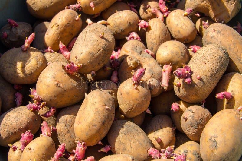 Achtergrond van aardappels voor het planten in de tuin stock afbeelding