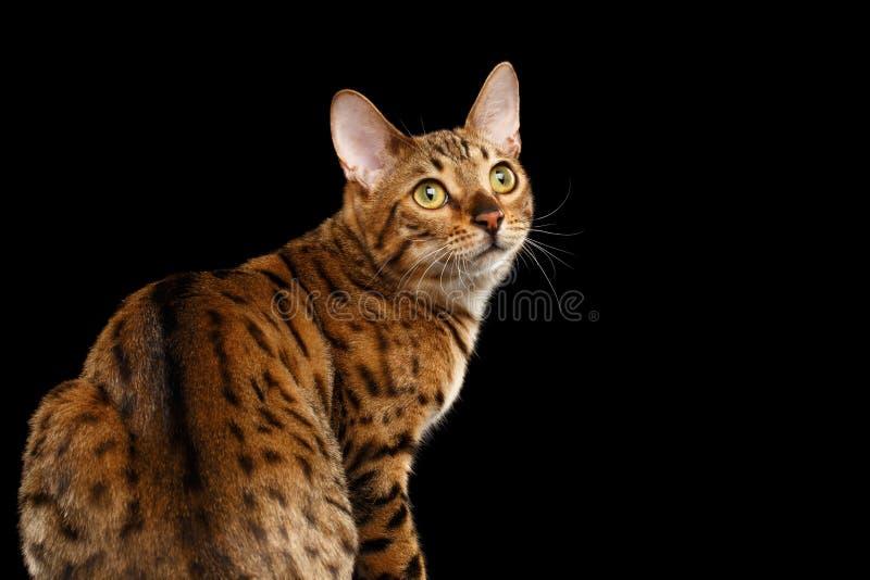 Achtergrond van Bengalen Cat Looking van het close-up de Nieuwsgierige Gezicht achter, Geïsoleerde Zwarte stock afbeeldingen