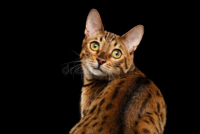 Achtergrond van Bengalen Cat Looking van het close-up de Nieuwsgierige Gezicht achter, Geïsoleerde Zwarte stock foto