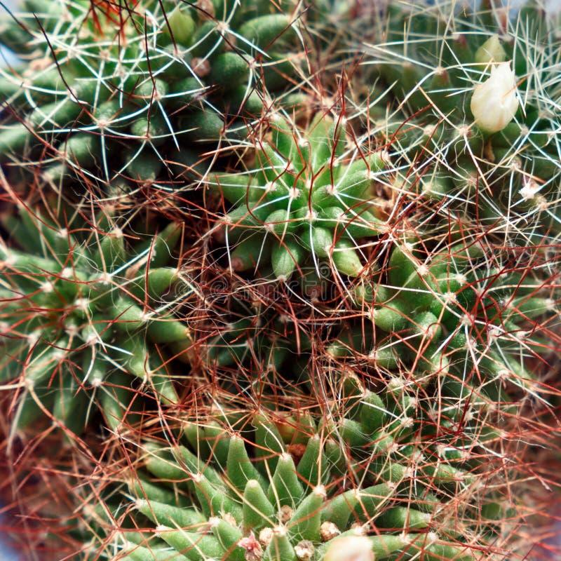 Achtergrond van cactusclose-up Hoogste mening stock foto