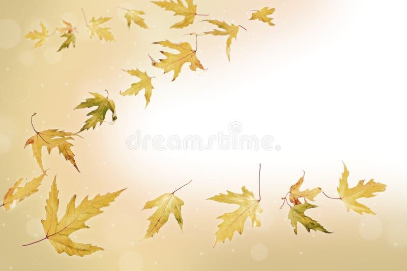 Achtergrond van de bladeren van de dalingsesdoorn stock afbeeldingen