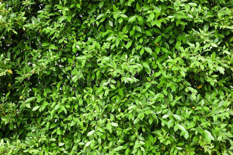 Achtergrond van de boombladeren van Indonesië de banyan stock afbeelding