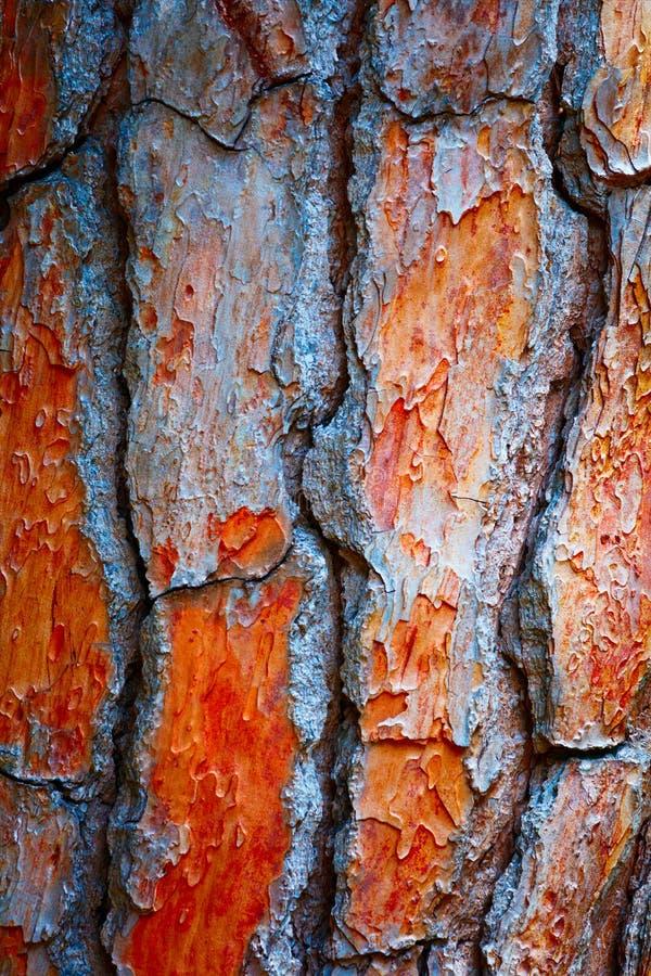 Achtergrond van de de Ceder de abstracte Textuur van de Kinaboompijnboom stock foto's