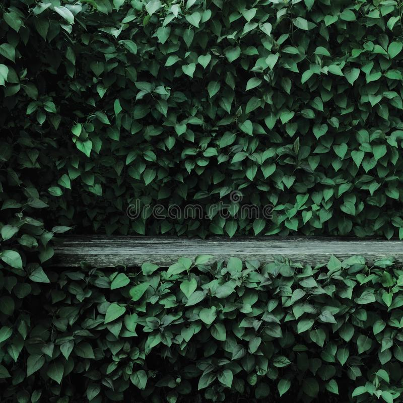 Achtergrond van de het bladhaag van Syringa vulgaris gemeenschappelijke lilac installaties groene, oud oud donkergrijs doorstaan  stock foto's