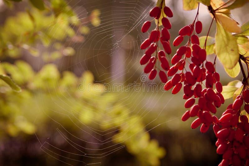 Achtergrond van de Spyder de Netto herfst stock foto
