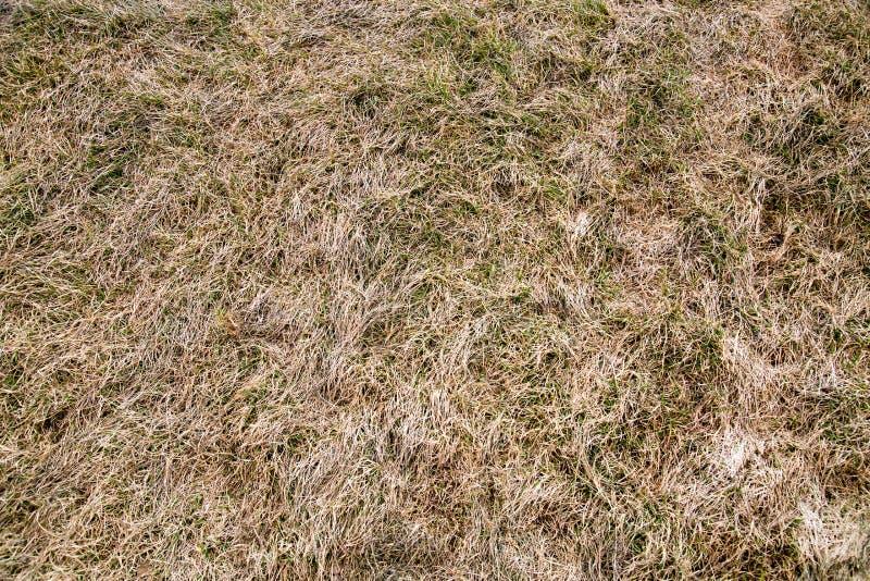 Achtergrond van droog gras met spruiten van vers groen gras in de vroege lente stock afbeelding