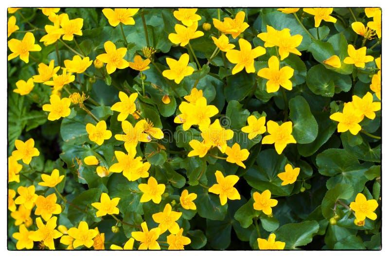 Achtergrond van geel Marsh Marigold Marsh Marigold Caltha-palustris; ook genoemd geworden Sleutelbloem, Geel Marsh Marigold stock fotografie