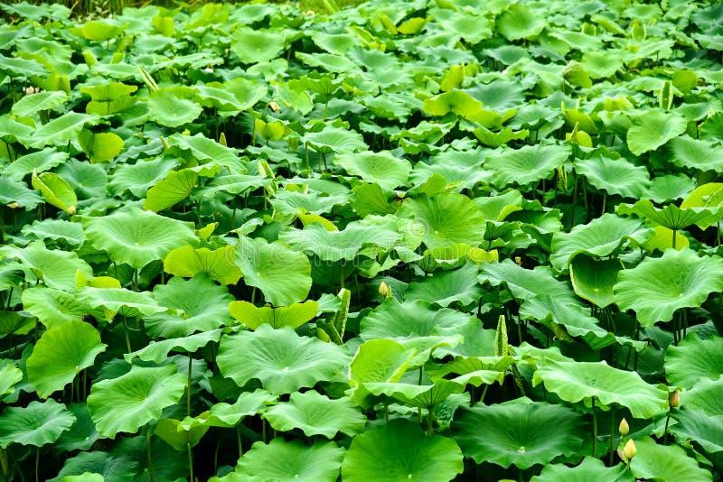 Achtergrond van groen lotusbloemblad met kleine lotusbloemknop in de vijver royalty-vrije stock foto