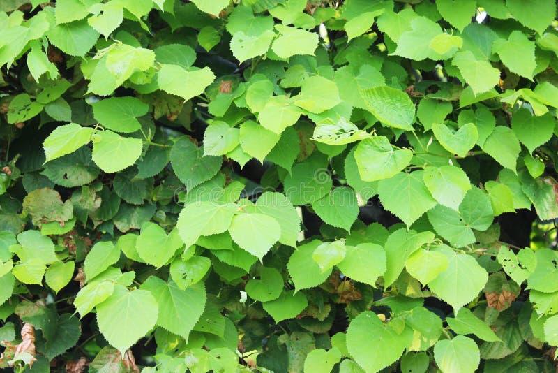 Achtergrond van groene bladeren Groene bladkleur in zonnig weer stock foto's