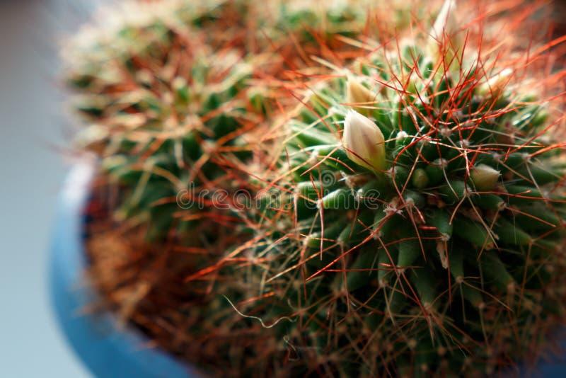 Achtergrond van het close-up van de cactusbloem royalty-vrije stock foto's