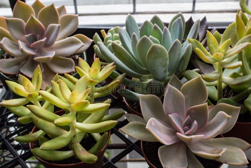 Achtergrond van kleine ingemaakte succulents in vele vormen stock foto