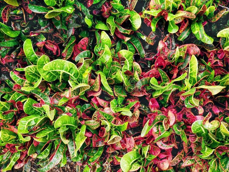 Achtergrond van Kleurrijke Croton-Installaties met Groene en Roze Bladeren royalty-vrije stock foto
