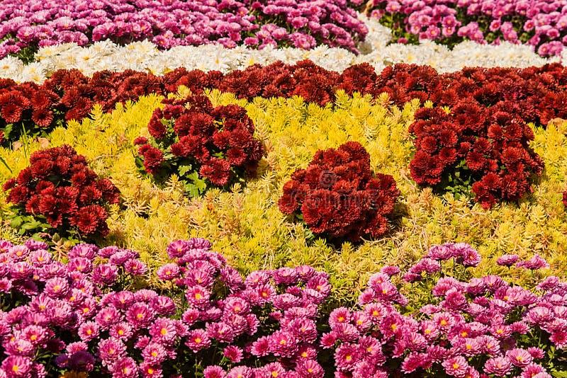 achtergrond van kleurrijke verse chrysanten op een zonnige dag royalty-vrije stock foto's
