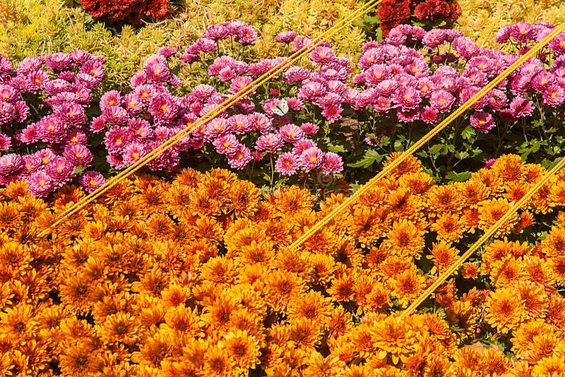 achtergrond van kleurrijke verse chrysanten op een zonnige dag stock fotografie