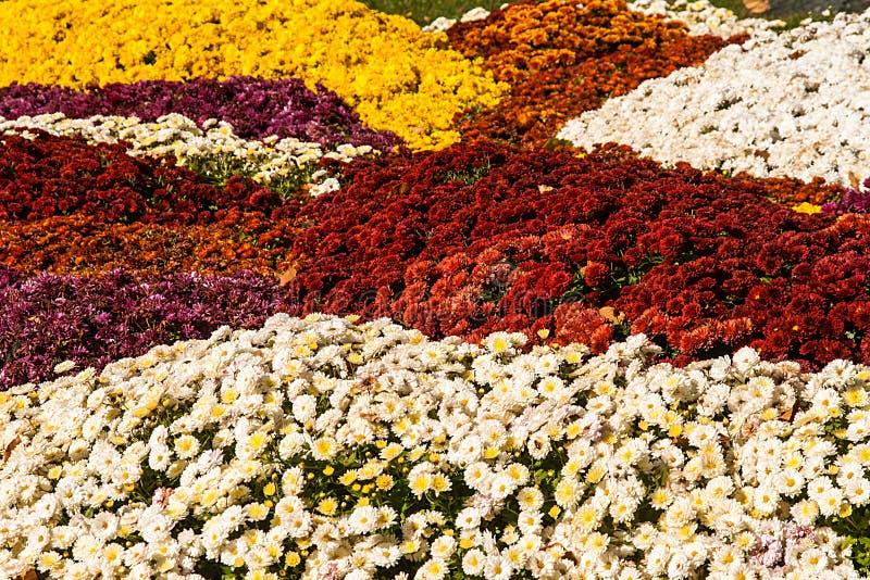 achtergrond van kleurrijke verse chrysanten op een zonnige dag stock afbeeldingen