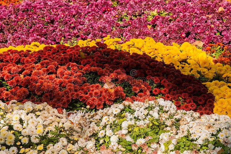 achtergrond van kleurrijke verse chrysanten op een zonnige dag royalty-vrije stock fotografie