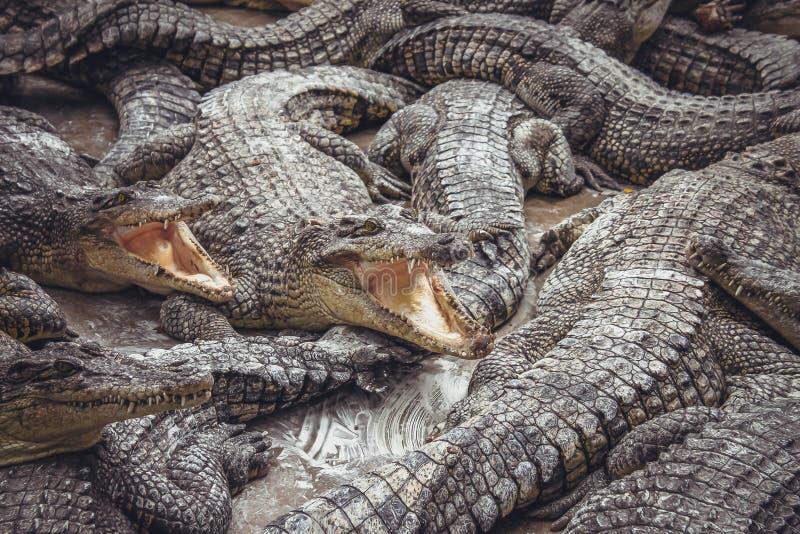 Achtergrond van krokodillen met open monden stock foto's