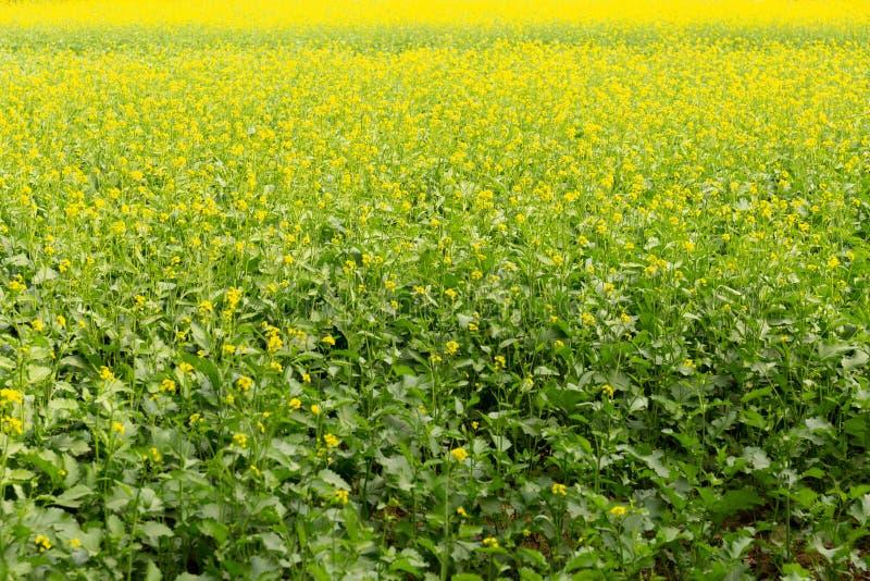 Achtergrond van mosterdinstallaties met mooi geel bloemengebied in Indiër royalty-vrije stock foto's