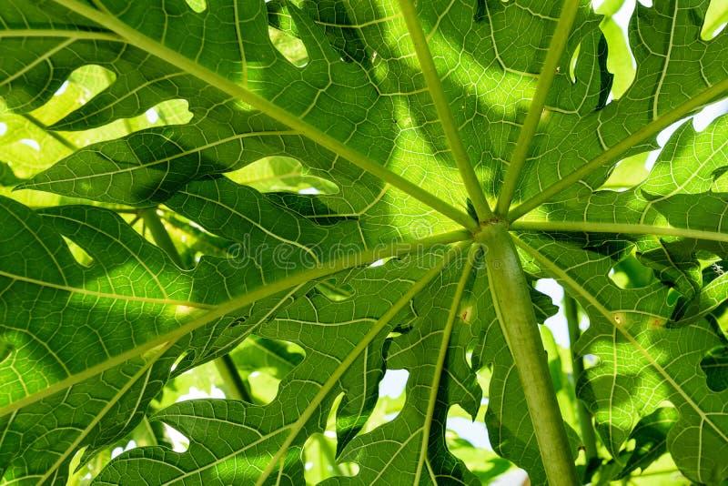 Achtergrond van papaja sluit de groene bladeren, omhoog mening van onderaan met licht en schaduw royalty-vrije stock foto's