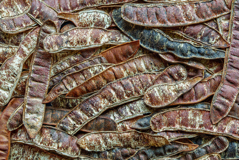 Achtergrond van peulvruchten van Robinia-pseudoacacia Valse acacia Zwarte sprinkhaan royalty-vrije stock fotografie