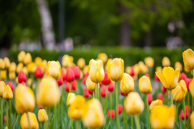 Achtergrond van rode en gele tulpen stock afbeelding