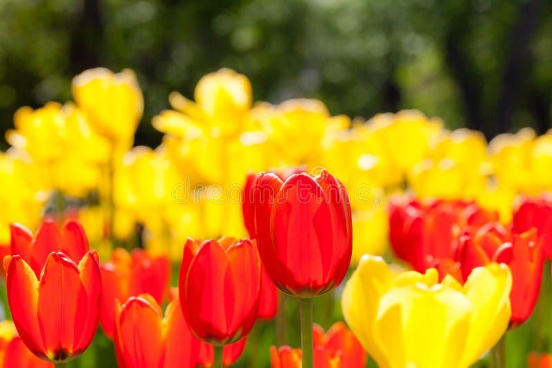 Achtergrond van rode en gele tulpen royalty-vrije stock fotografie