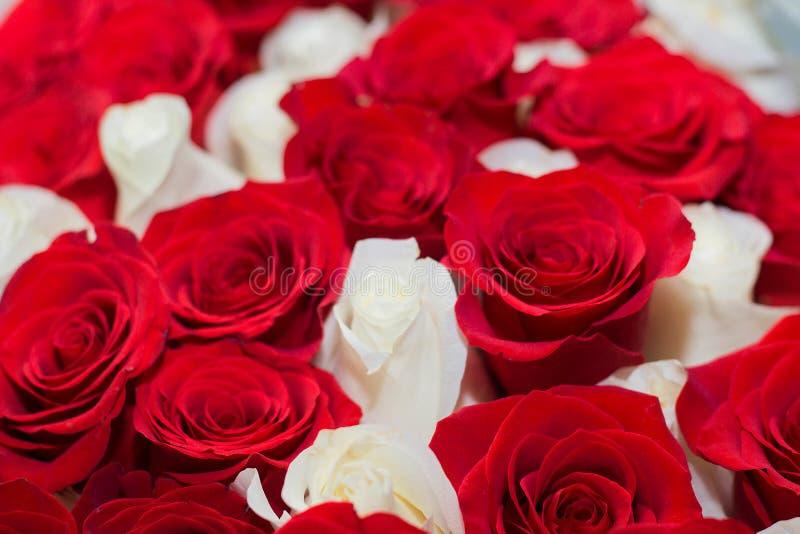 achtergrond van rode en witte rozen royalty-vrije stock afbeeldingen