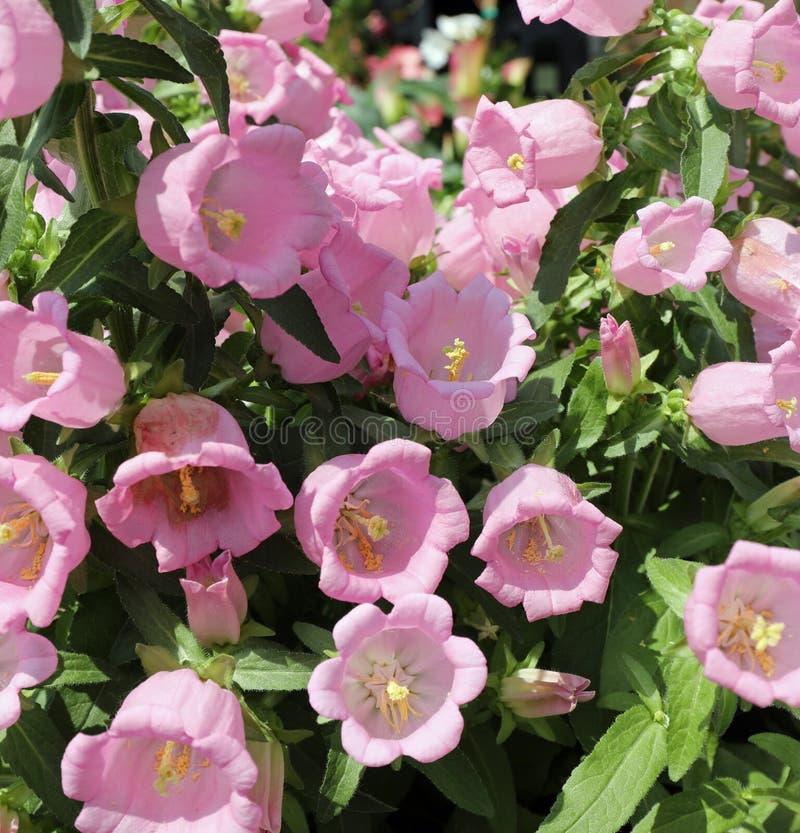 achtergrond van roze bloemen genoemd Bellflowers stock foto's