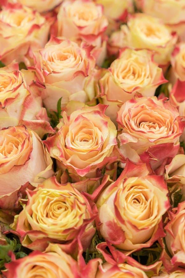 Achtergrond van roze sinaasappel en perzikrozen Natuurlijke achtergrond van verse rozen Zachte nadruk Verticale foto stock afbeelding