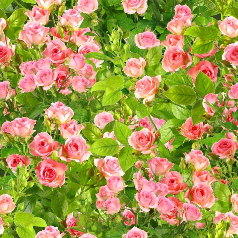 Achtergrond van takken met roze rozenbloemen stock foto's